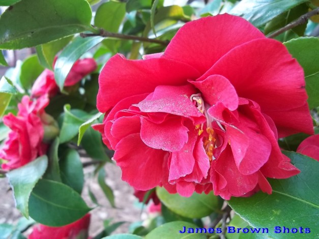 Blood Red Camellia