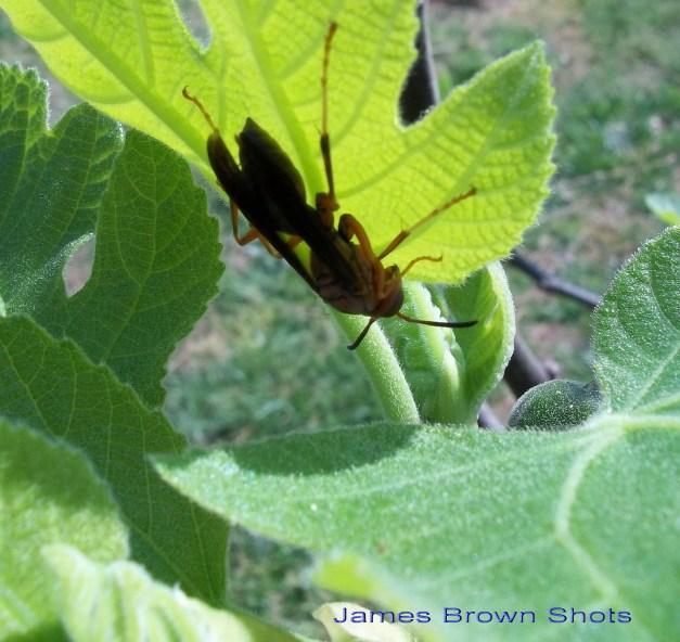 Wasp on Fig Leaf