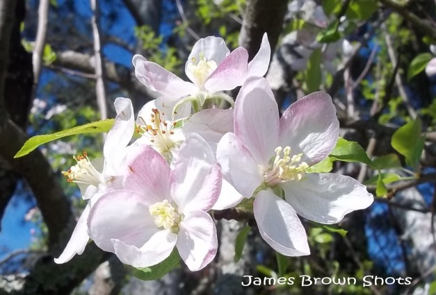White Apple Blooms