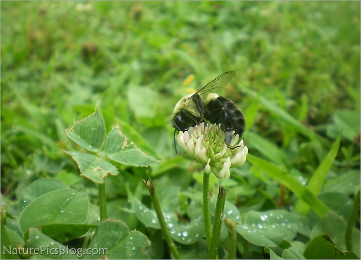 Bumble Bee Eating From Clover