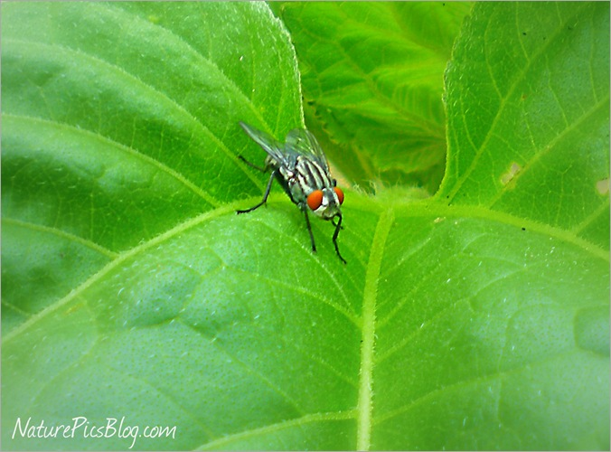 Fly On Sunflower Leaf