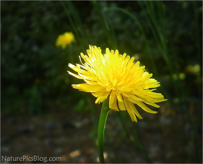 Radient Dandelion